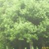 销售南京香樟等多种绿化苗木