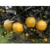 芦柑椪柑 新鲜水果   产地直销