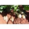 优质雪莲果种子 水果果实种苗