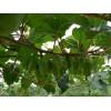 丹东亿园基地 :软枣猕猴桃果