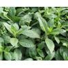 降压神菜种苗,神仙菜种苗,富贵菜种苗,长命菜种苗
