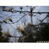 供应南京白玉兰等多种绿化工程苗木