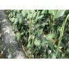 春秋播种长豆角种子长豆角种子能长1米的豆角种子新品种